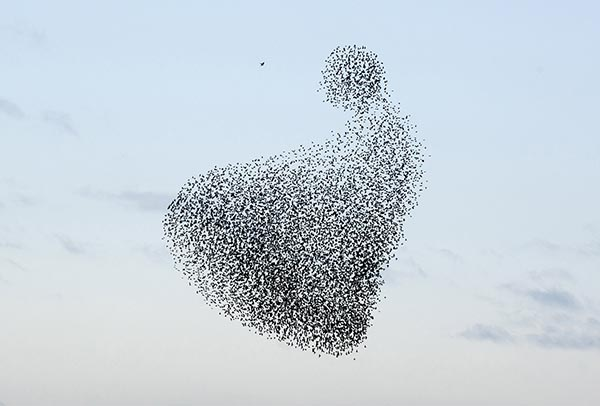 Hunting the starlings