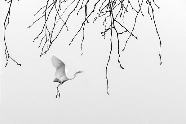 Egret between trigs