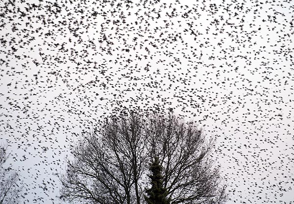 Flock of starlings