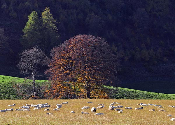 Sheeps in a meadow