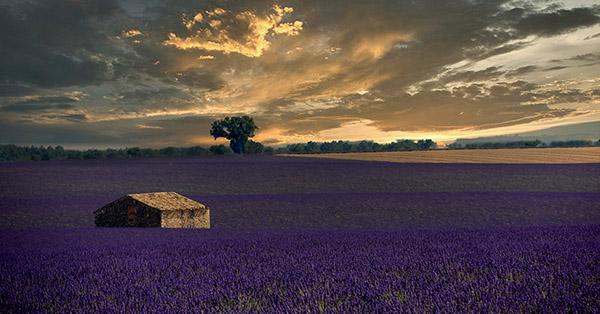 Barn in lavender