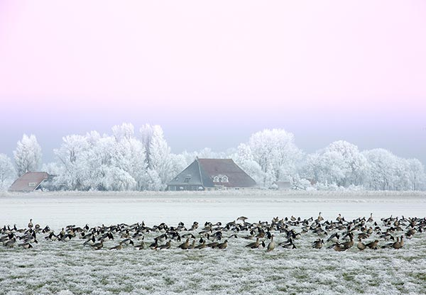 Winter landscape with gees