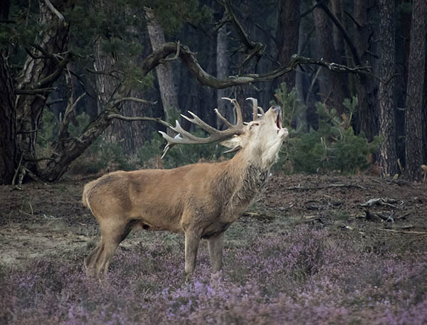 stag yelling