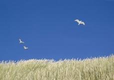 Gulls and dunes
