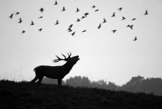 Stag yelling to birds