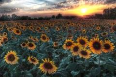 Zonnebloemenveld