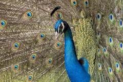 Pauwhaan