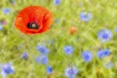 Klaproos in wilde bloemenveld